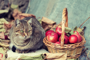 Cat in the garden near basket with apples in autumn