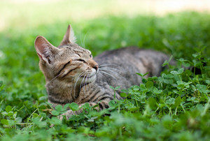 Cat lying in clover