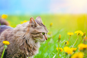 Cat on dandelion meadow