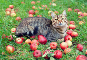 Cat relaxing on green grass among apples