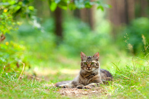 Cat relaxing outdoors in the pine forest