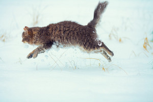 Cat running in the snow