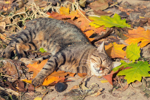 Cat sleeping on the colorful fallen leaves