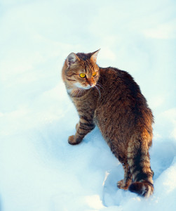 Cat walking in snow and looking around