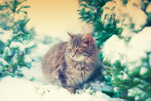 Cat walking in snow near fir tree