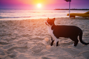 Cat walking on the beach at sunset