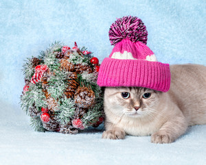 Cat wearing cap with pompom lying next to Christmas Kissing Bough on blue blanket