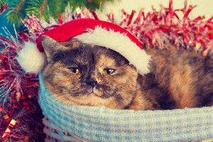 Cat wearing Santa hat  in a basket on Christmas background