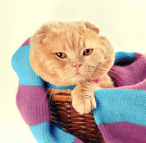 Cat wearing scarf in basket