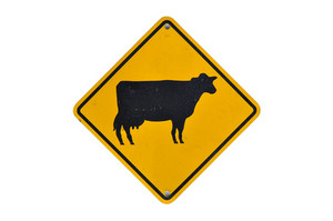 Cattle Traffic Warning On White