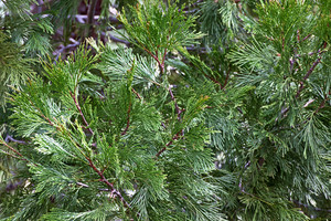 Cedar Tree Leaves