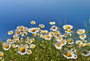 Chamomile flowers against blue sky