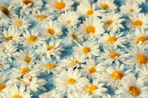Chamomile flowers on blue blanket background