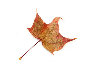 Changing Red Maple Leaf