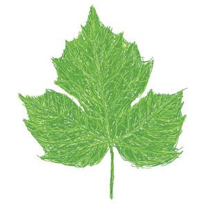 Chaya Leaf