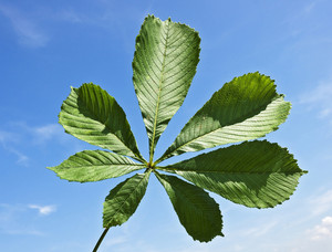 Chestnut Leaf On A Blue Sky