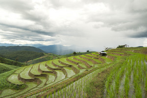 Chiang Mai rice field landscape, Thailand.