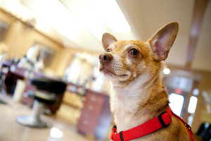 Chihuahua dog seated inside a beauty salon. Great concept for dog grooming. Shallow depth of field.