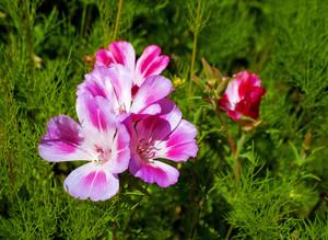 Clarkia Wildflowers