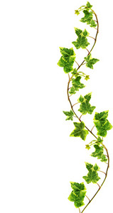 Clipping Path. Border Made Of Green Ivy Isolated On White Background