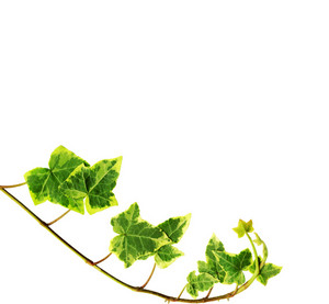 Clipping Path. Green Ivy Isolated On White Background