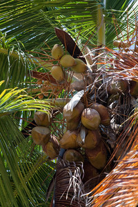 Close up detail of a tropical coconut palm tree variety found in the Caribbean.