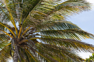 Close up detail of a tropical coconut palm tree variety found on the Caribbean islands of Puerto Rico.