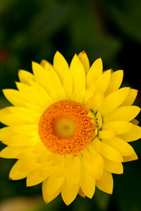 Close up macro view of a yellow flower.  Shallow depth of field.