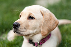 Close up of a cute golden yellow labrador puppy laying in the grass outdoors. Shallow depth of field.