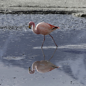 Close up of a flamingo feeding in sunlit water