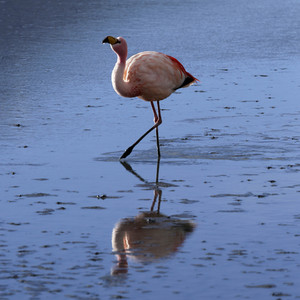 Close up of a flamingo reflected in sunlit waters