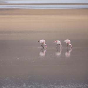 Close up of a flock of pink flamingos feeding in sunlit water