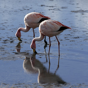 Close up of a pair of flamingos feeding in sunlit waters