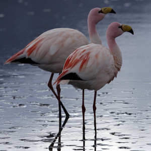 Close up of a pair of pink flamingos in sunlit water