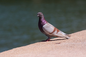 Close up of a pigeon with nice purple coloring.  Shallow depth of field.
