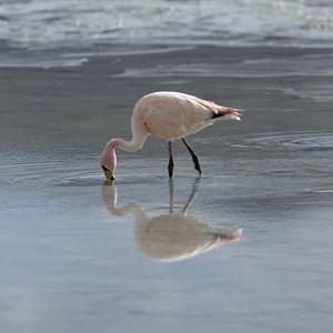 Close up of a pink flamingo feeding in sunlit water