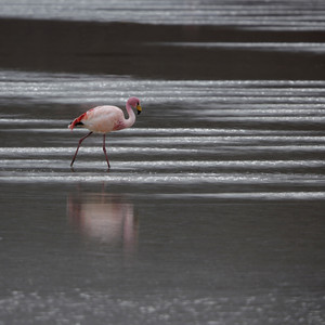 Close up of a pink flamingo in sunlit water