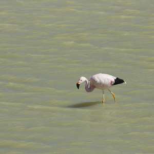 Close up of a pink flamingo walking through sunlit water