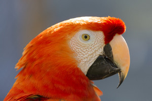 Close up of a red parrot
