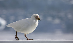 Close up of a white seabird walking on snow