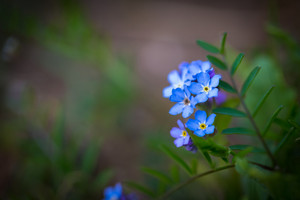 Close up of blue forget me nots. Blooming blue springtime flowers.