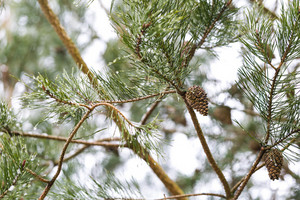 Close up of cone growing on pine tree branch