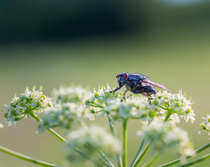 Close up of fly sitting on wild flower in nature. Beautiful macro of insect