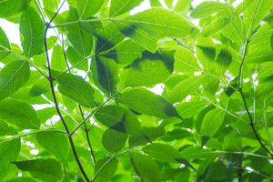 Close up of green leaves on branch. Forest background