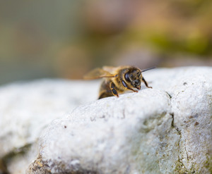Close up of honeybee resting on ground. Beautiful insect macro.