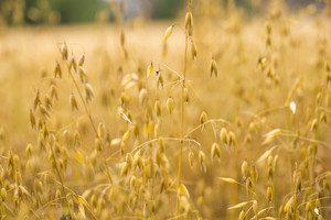 Close up of oat ears growing on summer field. Macro of cereal.