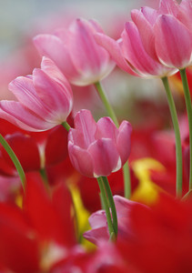 Close up of pink tulip flowers