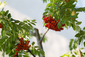 Close up of red rowan fruits on branch. Nature background of mountain ash.
