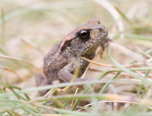 Close up of toad walking through grass