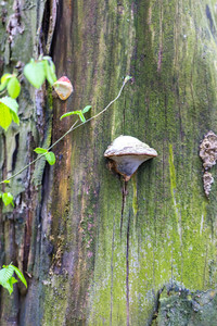 Close up of tree trunk with growing hub. Parasect mushroom on tree.